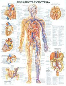 Схема сердечно-сосудистой системы человека