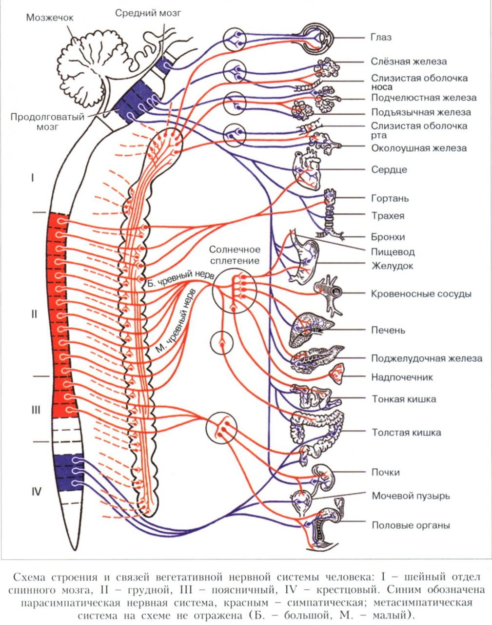The-Autonomic-Nervous-System